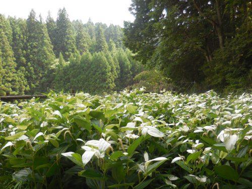 準絶滅種危惧「岡田の谷の半夏生園」