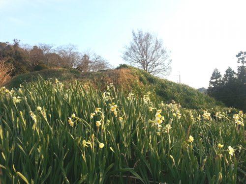 春を告げる「スイセン」