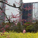 浜離宮「水仙・紅梅・菜の花」潮入りの池